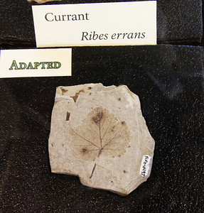 Fossil of leaf from a currant bush.