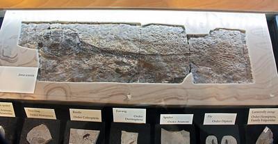Fish fossil.