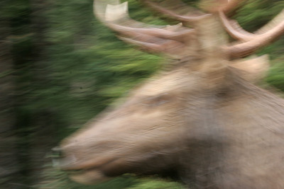 Taken very quickly as the Elk passed by my driver side window, only a foot or two away.