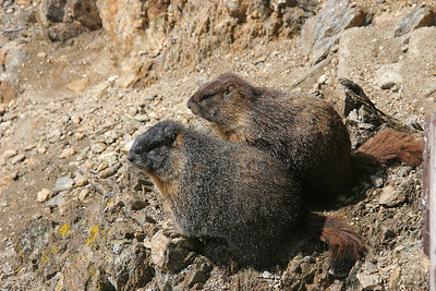 A Marmot pair take the sun below the Alpine Visitor Center.