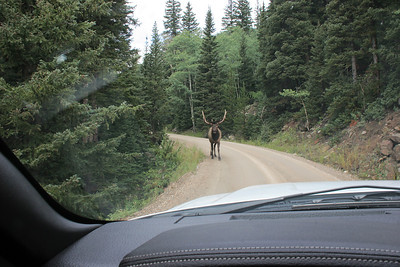 On the dirt road we met an Elk ... going the wrong way!