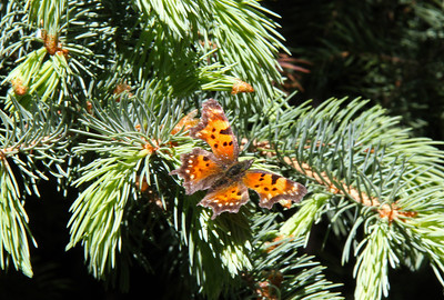 Butterfly on conifer.