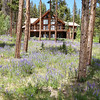 """<span style=""""color:yellow;"""">The woods surrounding the golf course were carpeted in blooming Lupines.  </span>"""