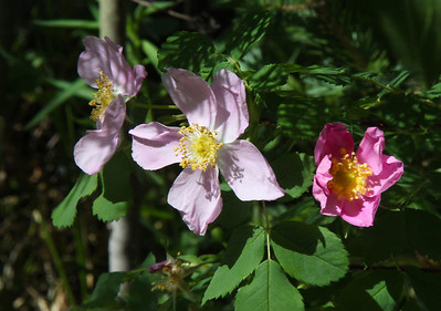 Monarch Lake hike :  wildflowers were in bloom everywhere!  This is a wild rose.