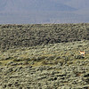 """<span style=""""color:yellow;"""">Pronghorn antelope seen from the Devlins' back deck.  </span>"""