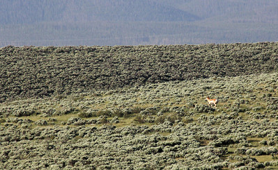 Pronghorn antelope seen from the Devlins' back deck.