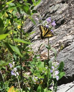 Quite a few Swallowtail butterflies flew by.