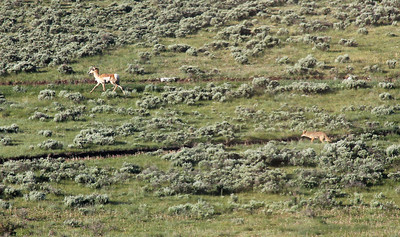 A broad expanse of open range is behind the Devlin's home, with mountainous beauty and wildlife to watch from their deck.   Here is a Pronghorn Antelope (upper left) being tracked by a coyote (lower right).
