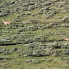 """<span style=""""color:yellow;"""">A broad expanse of open range is behind the Devlin's home, with mountainous beauty and wildlife to watch from their deck.   Here is a Pronghorn Antelope (upper left) being tracked by a coyote (lower right).  </span>"""