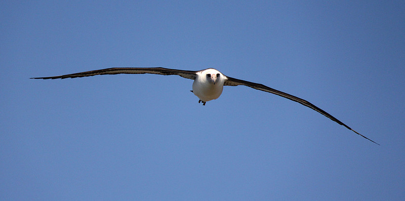 Kilauea Point:  Laysan Albatross.