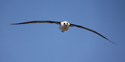 Kilauea Point:  Laysan Albatross.