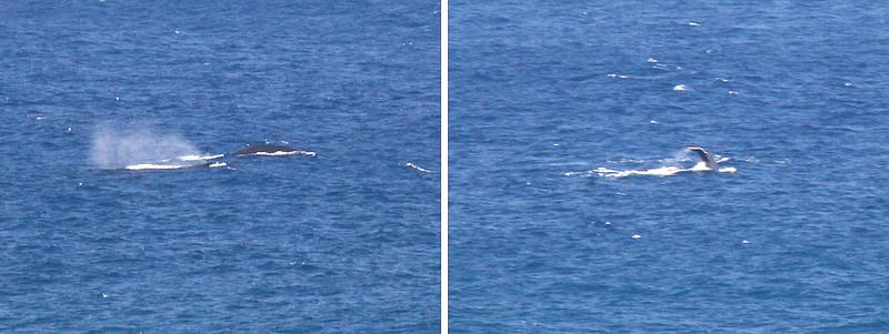 Whales off Kilauea Point.