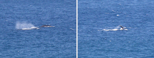 Whales off Kilauea Point.