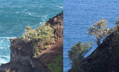 Kilauea Point;  the Red Footed Booby colony.