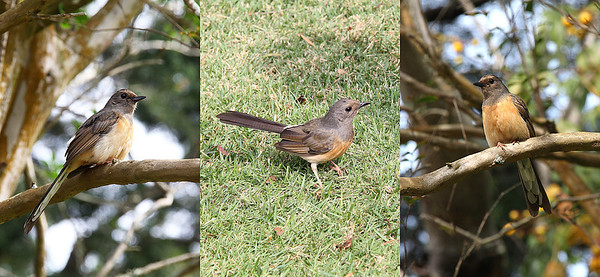 A Shama Thrush, female.  She flew right down to the lawn by my feet!