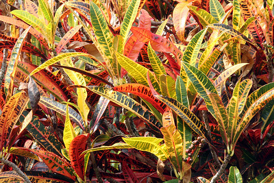"Color!  These are called Ti Leaves (prounced ""tea"").  Native Hawaiians used them to wrap offering to the gods.  (courtesy of Howard Daniel)."