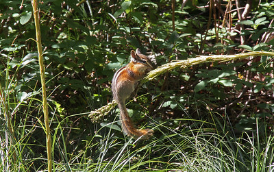 Along the trail this chipmunk climbs up a stalk to get to some seeds.  The stalk was originally standing straight up like the one at left.  His weight was just enough to make the stalk lean over sideways.