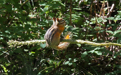 While eating seads from the stalk, the chipmunk moves his tail to keep his balance while swaying and bouncing quite a bit.
