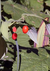 Twin Berries.