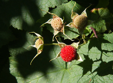 Thimble Berries ... they also ripen throughout the summer.