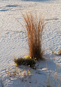 There were a few blooms widely scattered in the dunes.