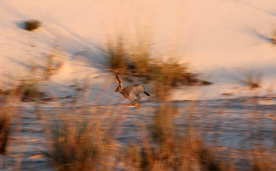 A quick catch on a passing jackrabbit.