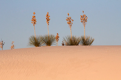 Soaptree Yuccas  are one of the few plants to survive on the dunes.