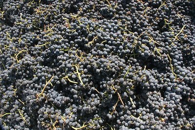 The Applegate Valley in southern Oregon has quite a few wineries, many quite good!  We were there during harvest.  This is a bin of Petite Sirah grapes just harvested by the Red Lily Winery.