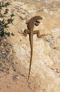 Another type of lizard.  I don't know what type it was, but I would have named it a Leopard Lizard!