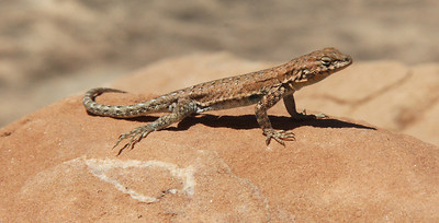 A wide variety of lizards is the most encountered fauna out in these very dry, rocky regions.