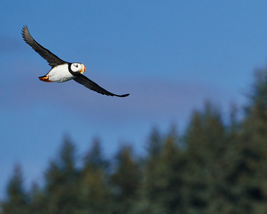 Horned Puffin in Flight 1 - M