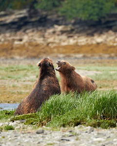 Adult Brown Bears at Play