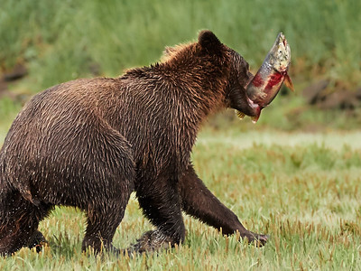 Brown Bear with Catch