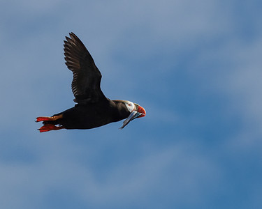 Tufted Puffin in Flight, with Fish