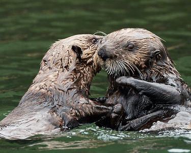 Sea Otters at Play