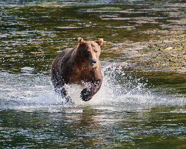 Brown Bear on the Hunt 1