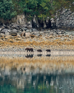 Brown Bear Mom and Cubs  in their Environment