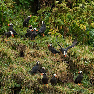 Tufted Puffins by their Cliff Burrows 1