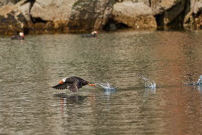 Tufted Puffin Taking Off 1