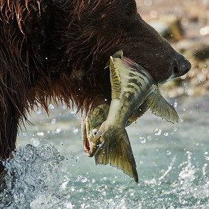 Brown Bear with Catch 2 - M