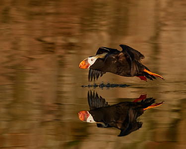 Tufted Puffin in Flight 1