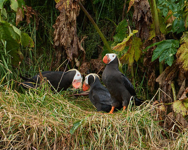 Tufted Puffins by their Cliff Burrows 2 - M