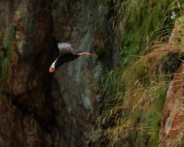 Tufted Puffin Taking Flight from Cliff Burrows 1