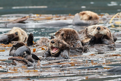 Sea Otters at Play 3