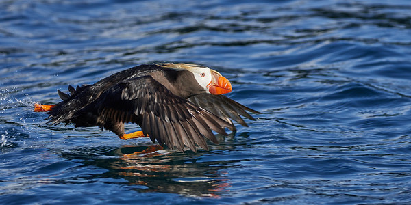 Tufted Puffin Taking Off 2