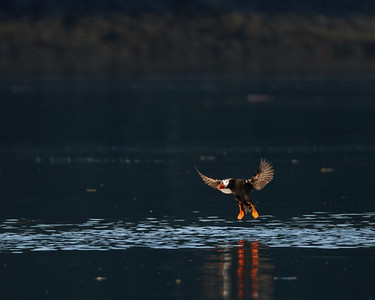 Tufted Puffin Landing 1