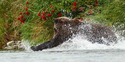 Brown Bear on the Hunt 2