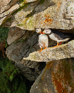 Horned Puffin Couple