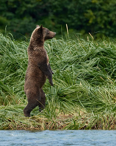 Brown Bear Cub-Walk in the Park