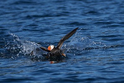 Tufted Puffin Landing 2
